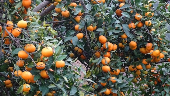 Georgia Citrus Trees with Tangerines [Georgia Slot Machine Casino Gambling in 2019]