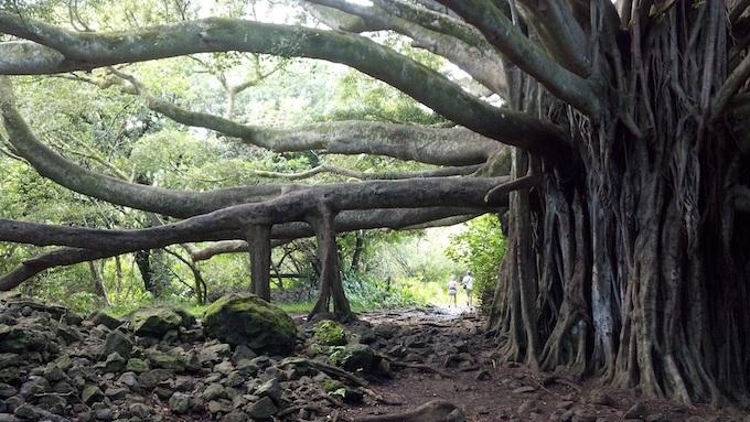 A Banyan Tree on Maui [Hawaii Slot Machine Casino Gambling in 2019]