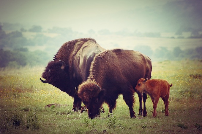 Buffalos with Calf [Oklahoma Slot Machine Casino Gambling in 2020]