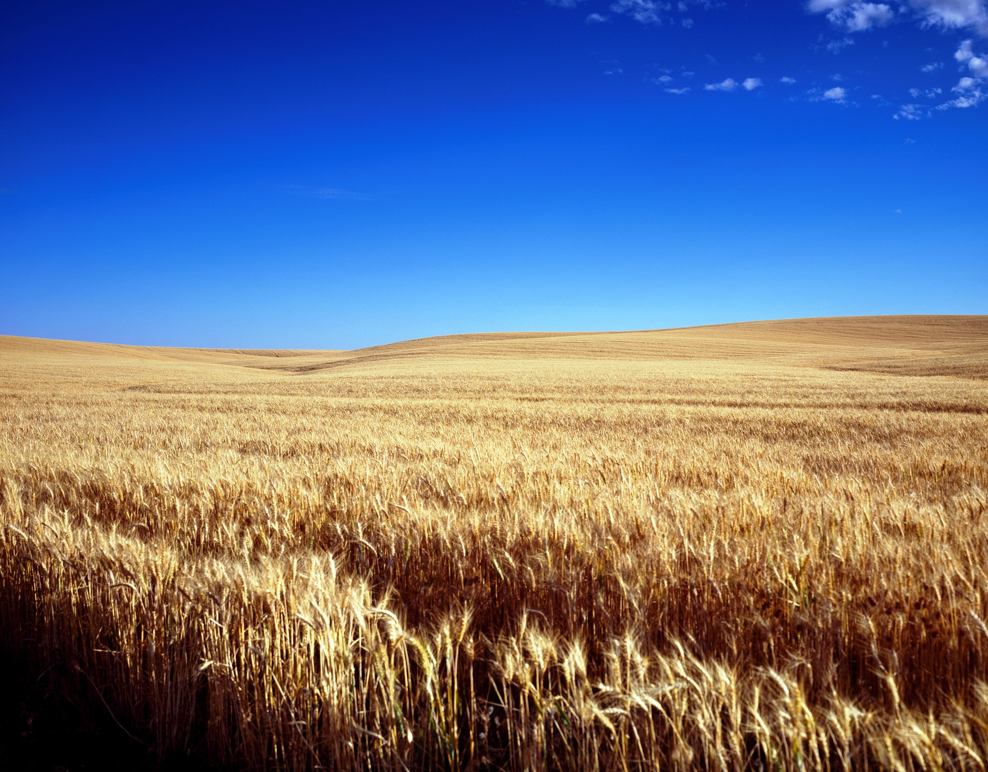 A clear blue sky over a seemingly endless Kansas wheat field.