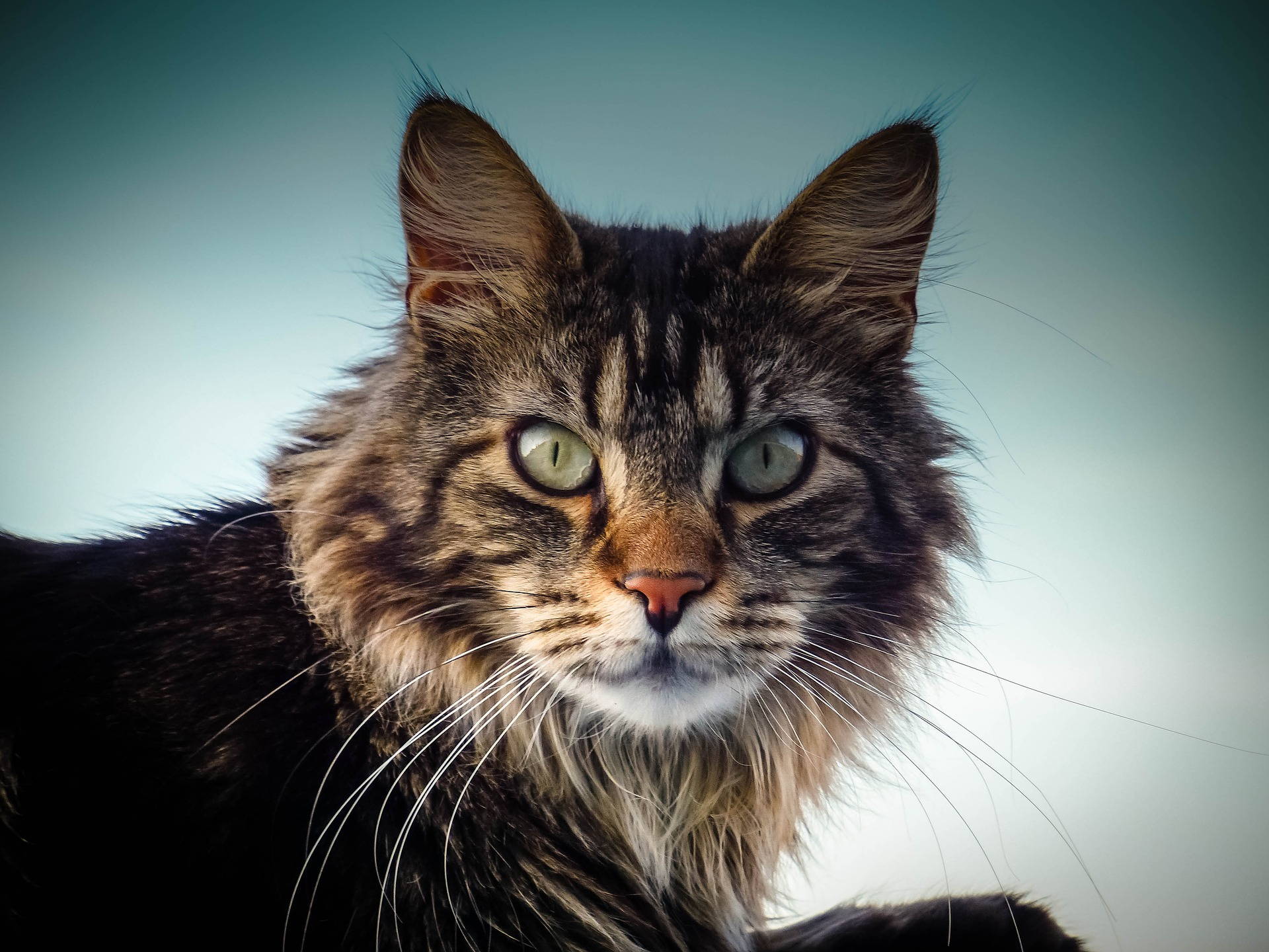 Maine Coon Cat, from Professor Slot's blog on Maine Slot Machine Casino Gambling.