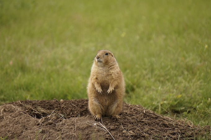 North Dakota Slot Machine Casino Gambling 2018: A black-tailed prairie dog.