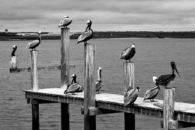 10 Pelicans on a Wooden Dock [Florida Slot Machine Casino Gambling 2018].
