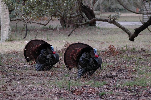 A Pair of Wild Turkeys Outdoors [Georgia Slot Machine Casino Gambling 2018].