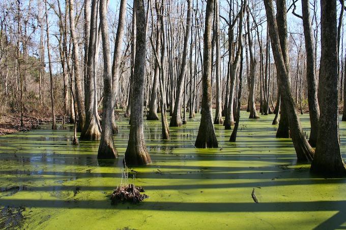 Cypress Swamp in Canton [Mississippi Slot Machine Casino Gambling 2019]