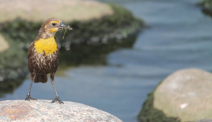 A Western Meadowlark on a Rock [North Dakota Slot Machine Casino Gambling 2019]