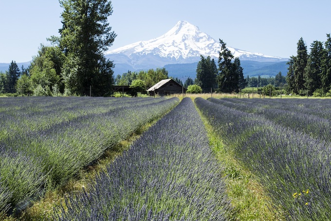 Field of Lavender Near Mount Hood [Oregon Slot Machine Casino Gambling 2019]