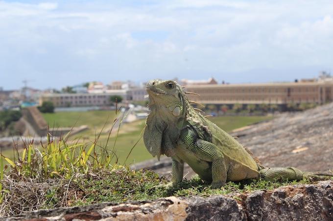 An Iguana Overlooking San Juan [Puerto Rico Slot Machine Casino Gambling 2019]