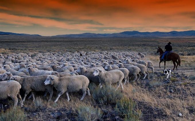 Sheepdog and Cowboy Herding Sheep [Idaho Slot Machine Casino Gambling in 2021]